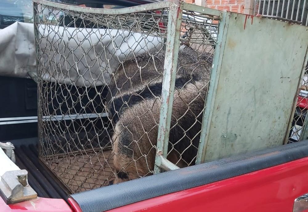 Vizinhos acionaram a corporação depois que animal invadiu casa e cachorros começaram a latir em Ourinhos — Foto: Corpo de Bombeiros/Divulgação