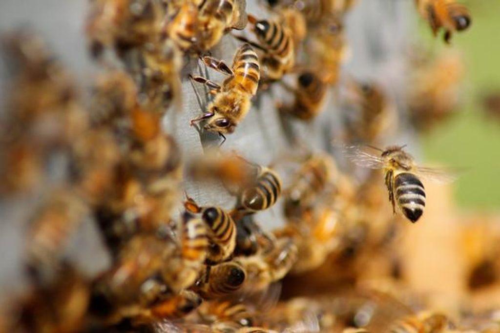 abelha enxame de abelhas