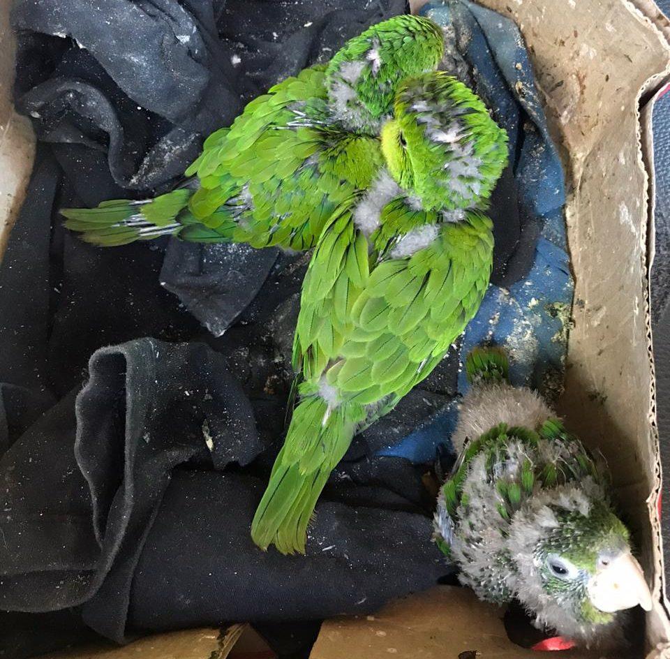 Filhotes estavam em caixa de papelão, em condições precárias (Foto: Divulgação/PM Ambiental)