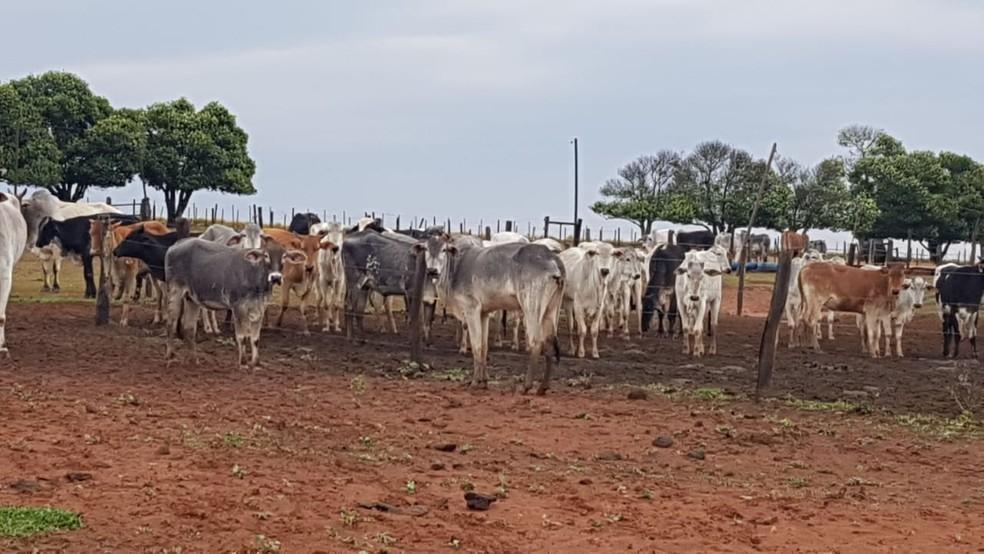 Polícia Civil recupera gado furtado de propriedade em Pompeia; animais estavam em fazendo no distrito de Rosália, em Marília — Foto: Polícia Civil/Divulgação